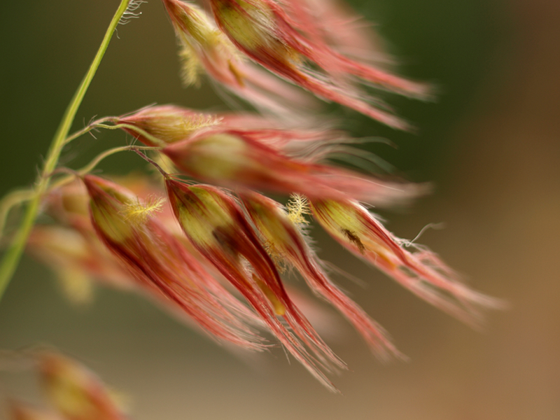 Darwin red grass seeds